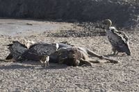 Ruppells Griffon Vulture eating dead wildebeest on the river bank