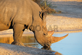 White rhinoceros drinking