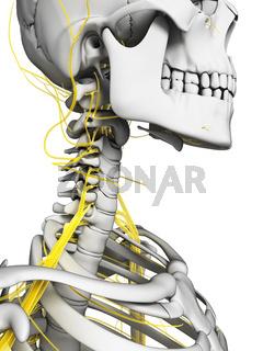 3d rendered illustration - nerves and skeleton