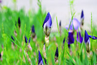 iris flower bud macro