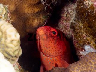 Juwelenbarsch (Cephalopholis miniata)