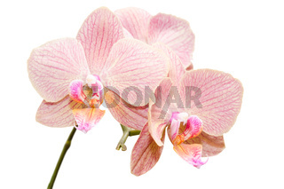 Siingle branch of gentle exotic flowers