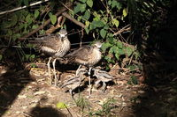bush stone-curlew  (Burhinus grallarius) with chicks  australia