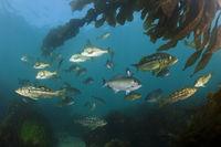 Kelp Bass Saegebarsch, San Benito Island