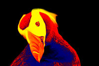 Fratercula in scientific high-tech thermal imager