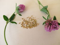 Flowering red clover and edible seeds from red clover on a wooden board