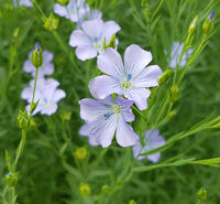 Flax, linum, perenne