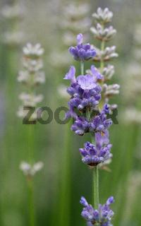 Common Lavender, Lavandula angustifolia