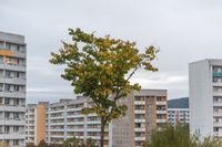 Single tree in autumn with skyscrapers in the background