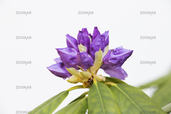 Rhododendron, closed flower