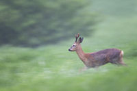 Roe Deer buck retreats quickly into the forest