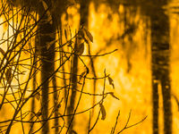 the leaves on the branches of the coastal willow wither over the pond in the yellow light of the autumn sunrise