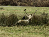 UK - Leicestershire - Bradgate Park - White Fallow Deer - Stag