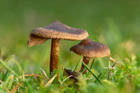 Small brown slimy lamellar mushrooms on the lawn against a blurred green background