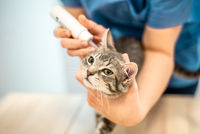 Female veterinarian doctor uses ear drops to treat a cat