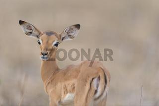 Impala calf, baby impala antelope