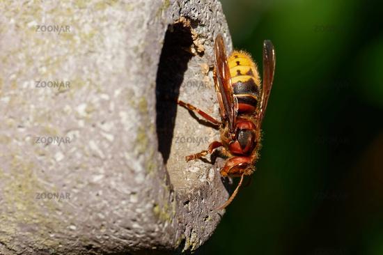 Hornet at the nest box
