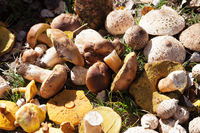Cut porcini mushrooms, boletus and parasol mushrooms lie in heap in a sunny meadow