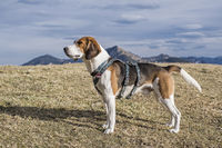 Beagle in the Bavarian mountains