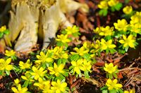Winterlinge in gelben Farben  - winter aconite is blooming in yellow  colours
