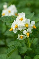 Potato, Solanum tuberosum