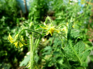 Tomato flowers on a bush in a greenhouse