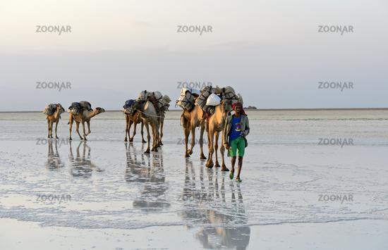 Dromedary caravan transports rock salt across the Assale Salt Lake, Danakil Depression, Ethiopia