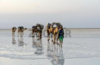 Dromedar-Karawane transportiert Steinsalz über den Assale Salzsee, Danakil Senke, Äthiopien