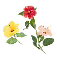Digital Painting of Hibiscus flowers isolated on white