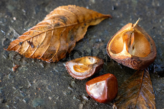 Ripe fruit of the Horse Chestnut tree commonly called conkers on the ground