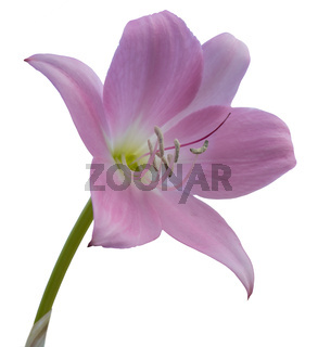 Pink lily isolated on white