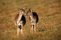 Fallow deer family touching on meadow in autumn.