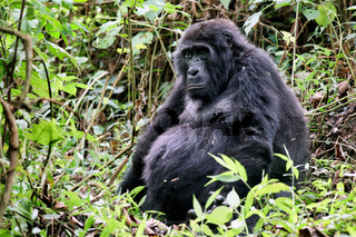 Alter Berggorilla im Bwindi Impenetrable Nationalpark Uganda (Gorilla beringei beringei) | Old Mountain Gorilla at Bwindi Impenetrable National Park Uganda (Gorilla beringei beringei)