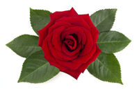 Red rose flower and leaves on white