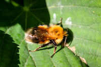 Close up a bee on a leaf.