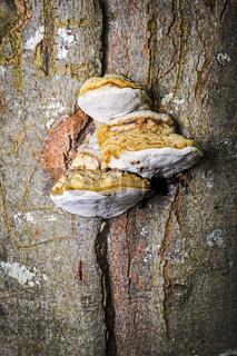 Tinder Fungus