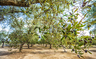 Olive plantation at Torre Sant Andrea Puglia Italy