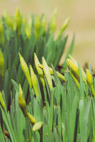 beautiful fresh spring daffodils in springtime