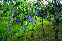 european plum, common plum