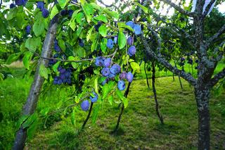 Zwetschgenbaum, Prunus domestica, european plum