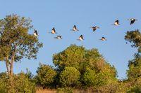 flock of birds Egyptian goose, Chobe river, Botswana Africa