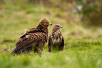 Lesser spotted eagle and common buzzard sitting on the ground in summer