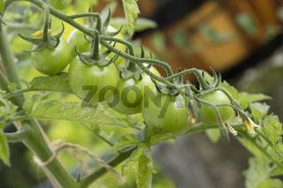 Tomaten-Reife