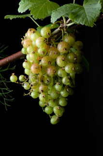 Portrait hanging bunch of ripening red currants