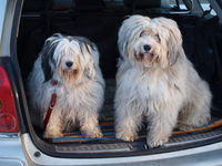 Tibetan terrier in the trunk of a car.