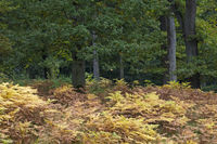Eichenwald und Adlerfarn im Herbst / Oak forest and Common Bracken in autumn / Kreis Steinburg - Schleswig-Holstein