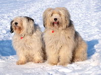 Tibetan terrier in the snow
