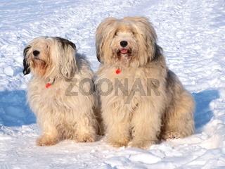 Tibetterrier im Schnee