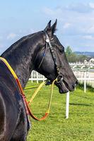 Portrait of a akhal-teke horse.