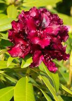 Rhododendron hybrid
